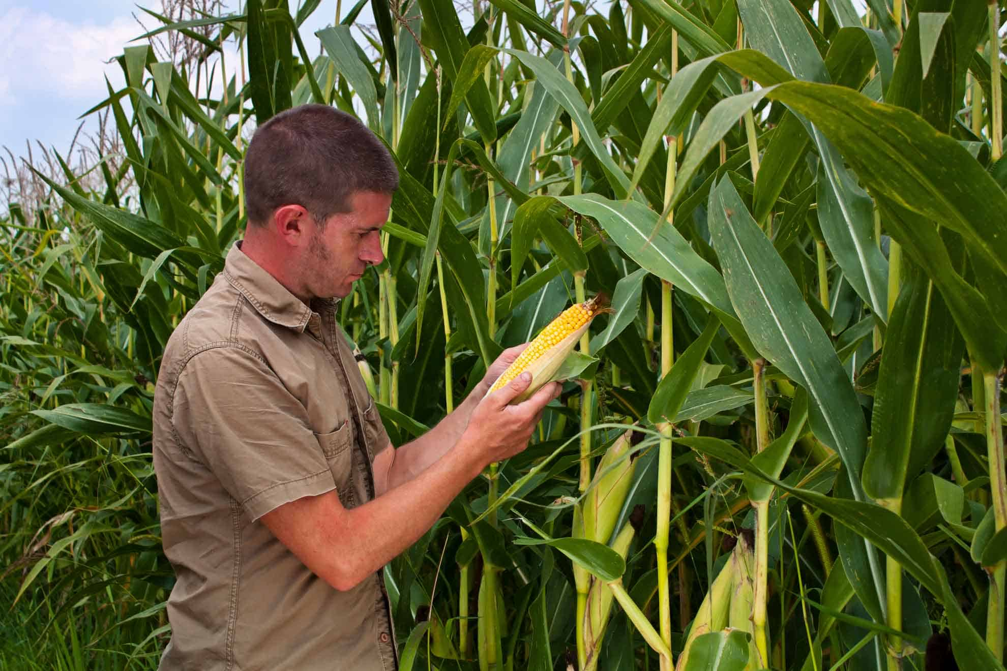 Man checking corn in a corn field
