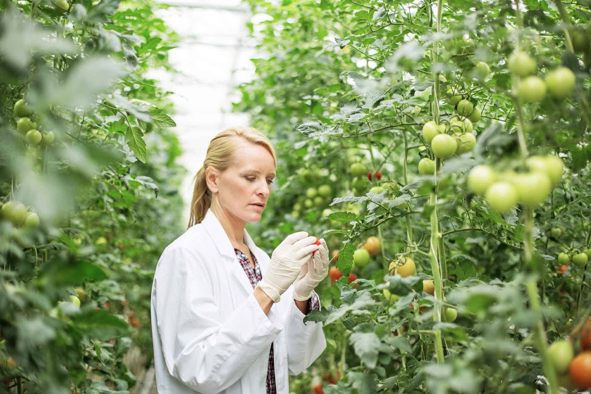 Women inspecting tomatos